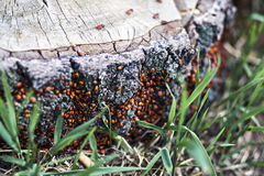 Beetles on a tree stump. Red beetles swarmed stump, photographed the Soviet lens Stock Image