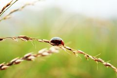 Ladybugs are walking on grass stock photos