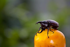 Beetles or Xylotrupes Gideon eating persimmon. In Thailand Royalty Free Stock Images