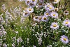 Beetpflanzen des Lavendels und der purpurroten Gänseblümchen geben ein Haus zum whi stockbild