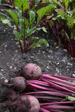 Beetroot Stock Images