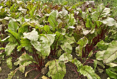 Beetroot. Young and fresh beetroot plants growing Stock Image