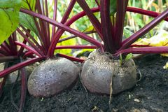 Beetroot. Royalty Free Stock Photo