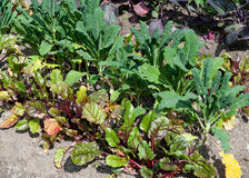 Beetroot and cabbage in a vegetable garden Stock Photo