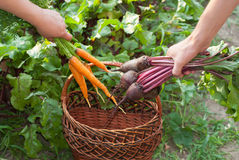 Beetroot and Carrots Royalty Free Stock Photo