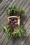 Beetroot freshly picked in a garden trug Royalty Free Stock Image