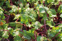 Beetroot in the garden royalty free stock photo