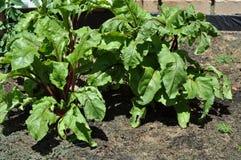 Beetroot growing in a home vegetable garden Stock Photos