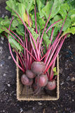 Beetroot Harvest Royalty Free Stock Photography