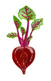 Beetroot illustration Stock Image