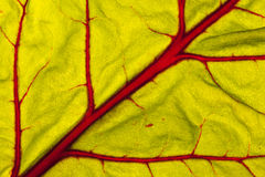 Beetroot leaf. Close up photo of a beetroot leaf Royalty Free Stock Photography