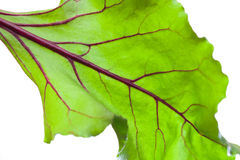 Beetroot leave Royalty Free Stock Image
