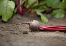 Beetroot macro over growing vegetables background Royalty Free Stock Photo