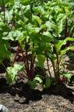 Beetroot opuszcza dorośnięcie w domowym jarzynowym ogródzie Fotografia Royalty Free