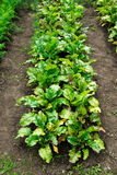 Beetroot patch Stock Photo