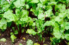 Beetroot plants. Royalty Free Stock Photography