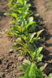 Beetroot plants Royalty Free Stock Photography