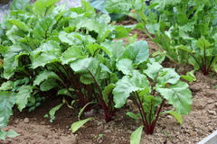 Beetroot Plants. Stock Photos