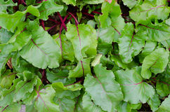 Beetroot plants, top view Royalty Free Stock Image