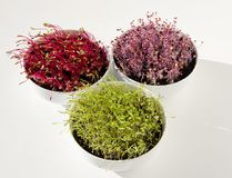 Beetroot, Red Cabbage, Carrot Microgreens In Bowls From Above Stock Photo