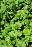 Beetroot rośliny zdjęcie stock