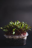 Beetroot seedlings. Beetroot organic sprouting seedlings, fresh and healthy, on a dark background Stock Images