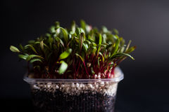 Beetroot seedlings Royalty Free Stock Photo