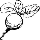Beetroot. Vector Illustration Royalty Free Stock Images