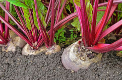 Beetroot in a vegetable garden Stock Photos
