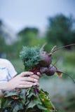 Beetroot w rękach ogród Zdjęcie Stock