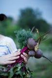 Beetroot w rękach ogród Fotografia Royalty Free
