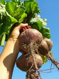 Beetroots Royalty Free Stock Photos