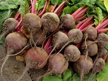 Beetroots harvest Royalty Free Stock Images