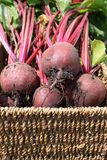 Beetrot In a Basket. Close up detail of freshly picked and organically grown beetroot in a wicker type basket Royalty Free Stock Photos