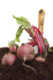 Beetrot harvest. Beetroot harvest, beetroot in soil with a garden trowel Royalty Free Stock Photo