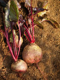Beets Royalty Free Stock Image