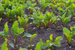 Beets in the garden Stock Photo