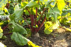 Beets grow in the kitchen garden royalty free stock photos