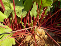 Beets growing in dirt Royalty Free Stock Photography
