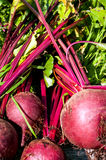 Beets (3) Royalty Free Stock Images