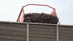 Beets are loaded on a conveyor stock video