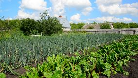 Beets and onions grow in vegetable garden in front of rural house stock footage