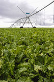 Beets with sprinklers irrigation system Royalty Free Stock Images
