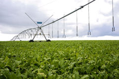 Beets with sprinklers irrigation system Stock Photo