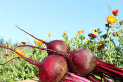 Beets Stock Images