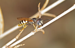 Beewolf Wasp Royalty Free Stock Photo