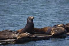 Befälhavande slagställning av sjölejonet bland att sova plirar i halvmånformig C Arkivbilder
