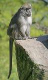 Befestigungsklammer-Essen von Macaque 1 lizenzfreie stockfotografie