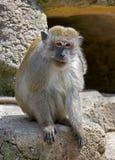 Befestigungsklammer-Essen von Macaque 3 lizenzfreie stockbilder
