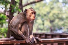 Befestigungsklammer-Essen von Macaque Lizenzfreies Stockfoto
